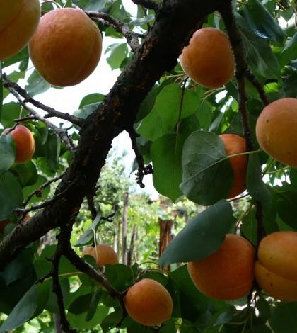 Prunus_armeniaca_E1