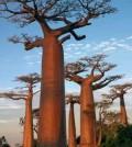 baobab tree[4]